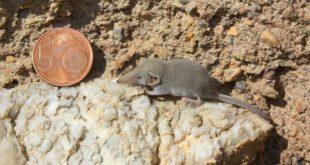 Quali sono i mammiferi più piccoli del mondo